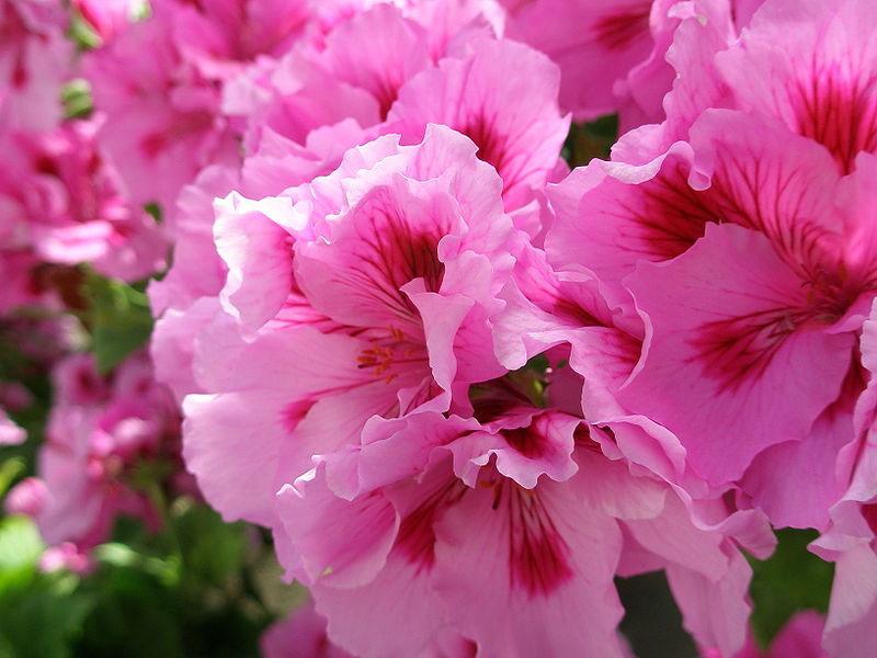 martha washington geranium is a regal geranium