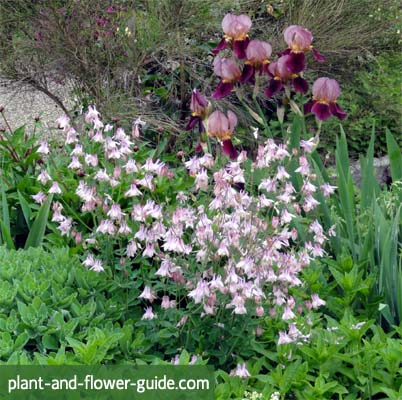 aquilegia vulgaris is ideal for a cottage garden
