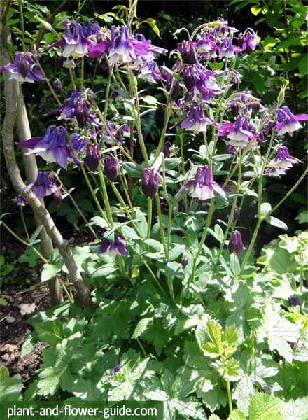 columbine flowers in a cottage garden