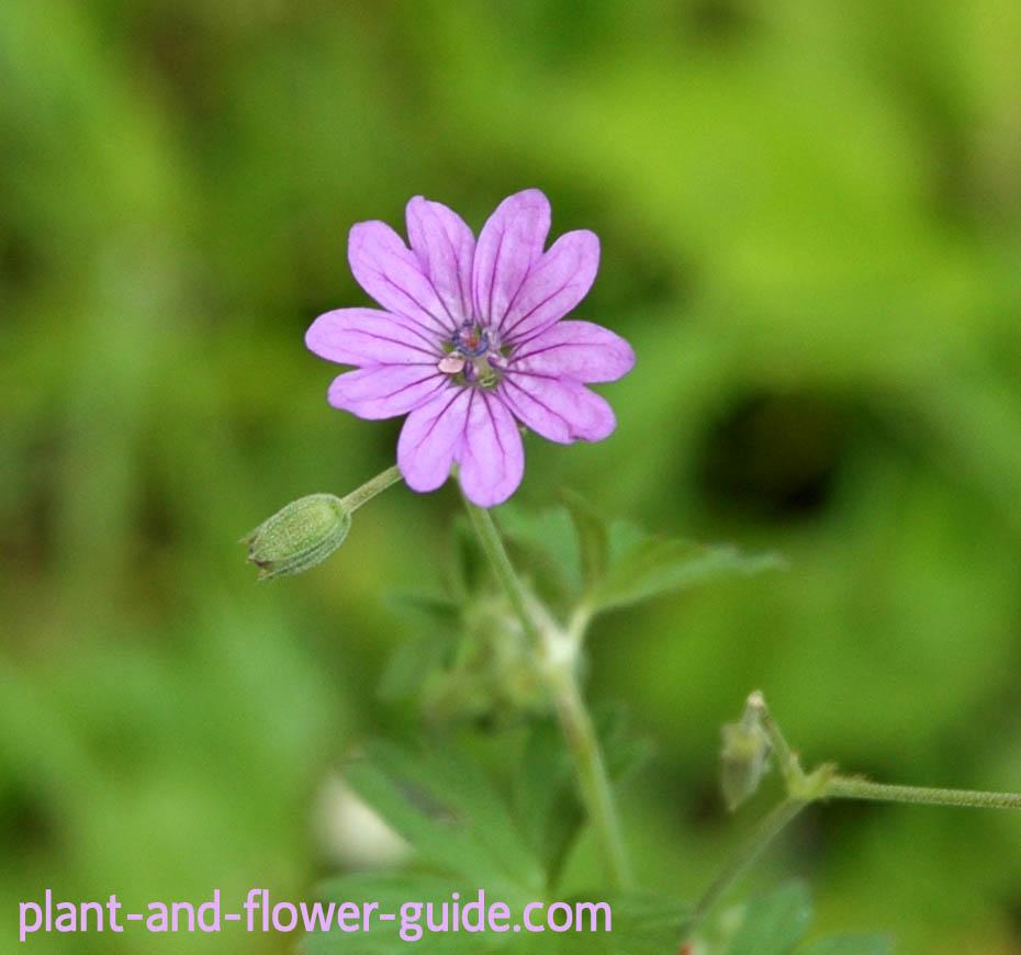 geranium pyrenaicum is a geranium plant
