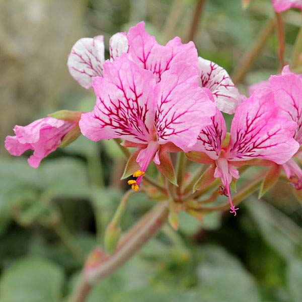 pelargonium endlicherianum is also called Turkish pelargonium
