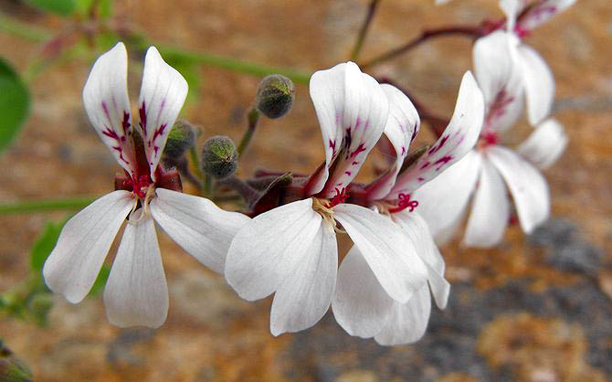 pelargonium fragrans is also called nutmeg geranium