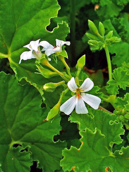 pelargonium odoratissimum belongs to the scented geraniums and is also called apple geranium