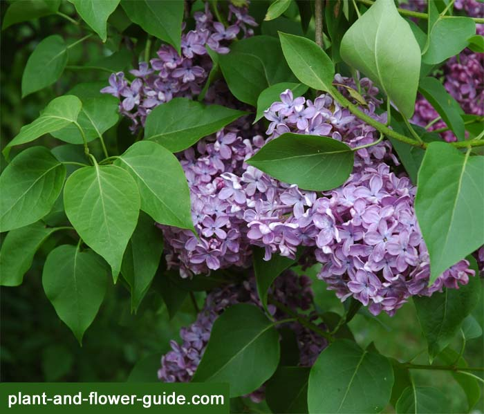 purple lilacs are common lilac flowers