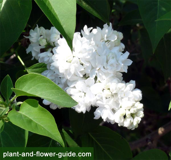 white lilacs have beautiful lilac flowers