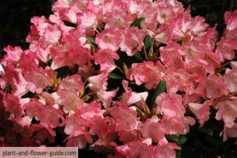 pink rhododendron flower in a rhododendron garden