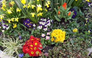 Primrose Flower, Daffodil Flower, Pansy Flowers and Tulip Flowers