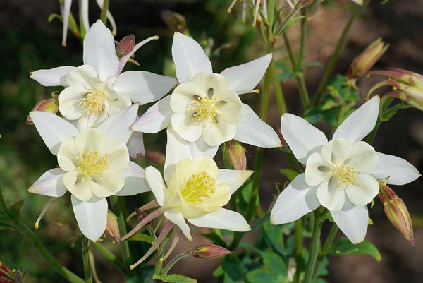 The white Colorado columbine flower is scientifically called aquilegia caerulea and has nice white flowers