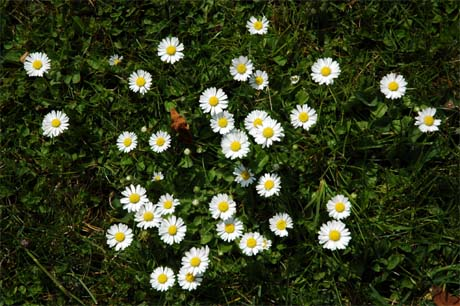 Daisy flowers the beauty of many small flowers Where did daisies originate