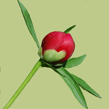 Peony Flowers, Peony Flower