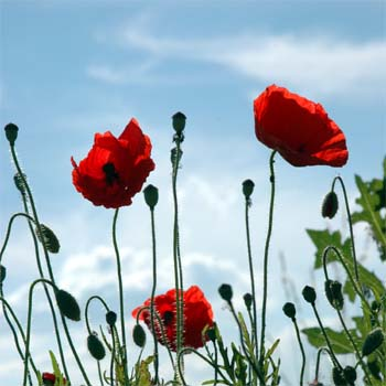 Poppy flower the good the bad the beautiful poppy flower poppy flower mightylinksfo Image collections