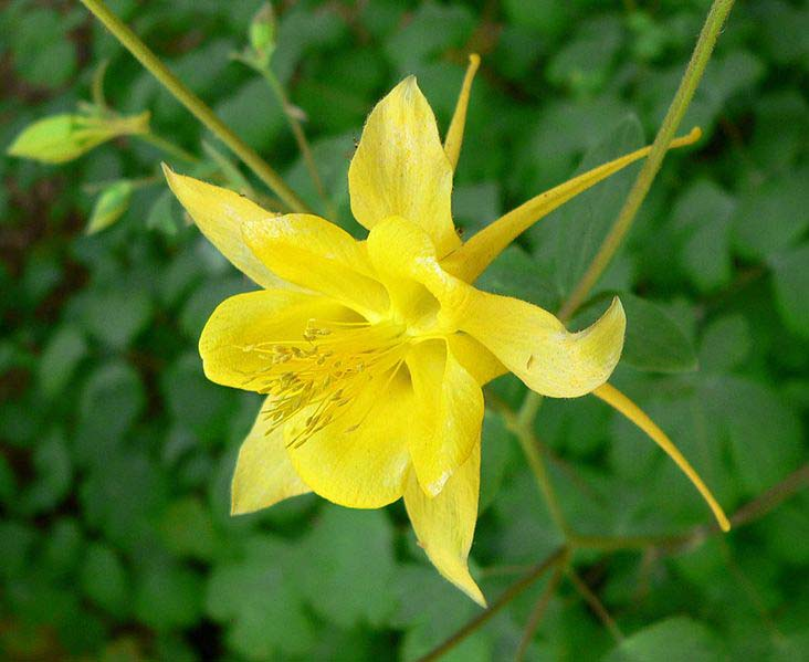 aquilegia chrysantha is a columbine flower with long spurs