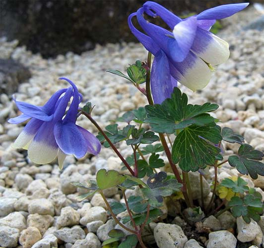 aquilegia flabellate is a two-toned columbine flower that grows well in rock gardens