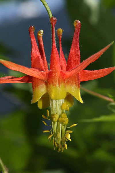 aquilegia Formosa is a columbine flower