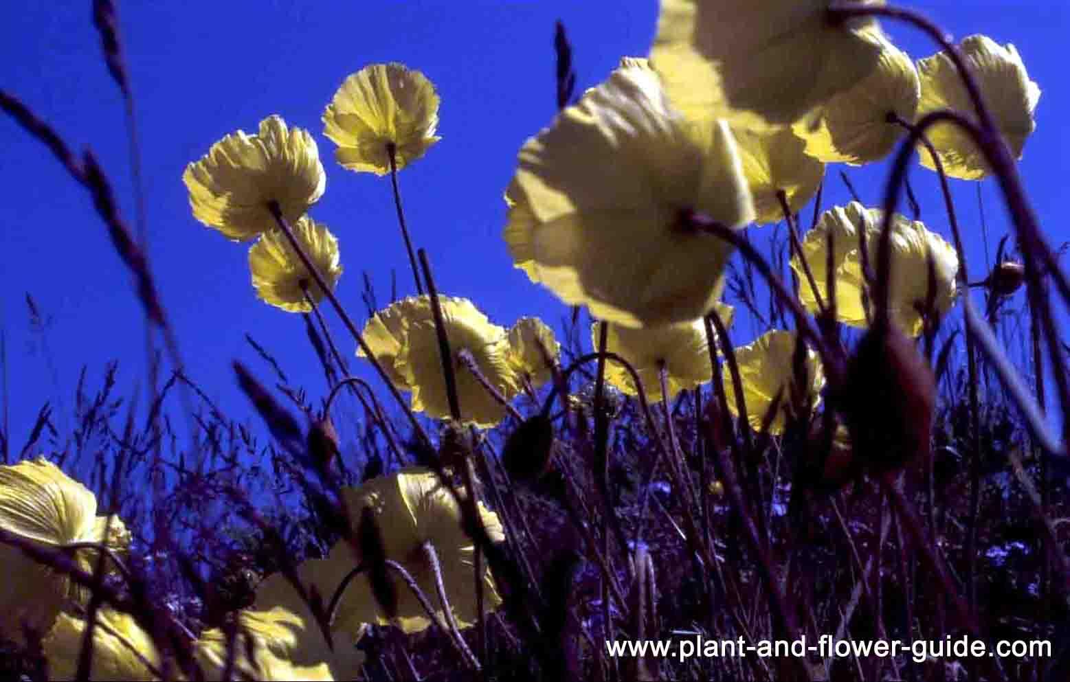 Artic Poppy Heliotropism