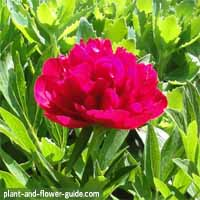 flowers of the month of may are peony flowers