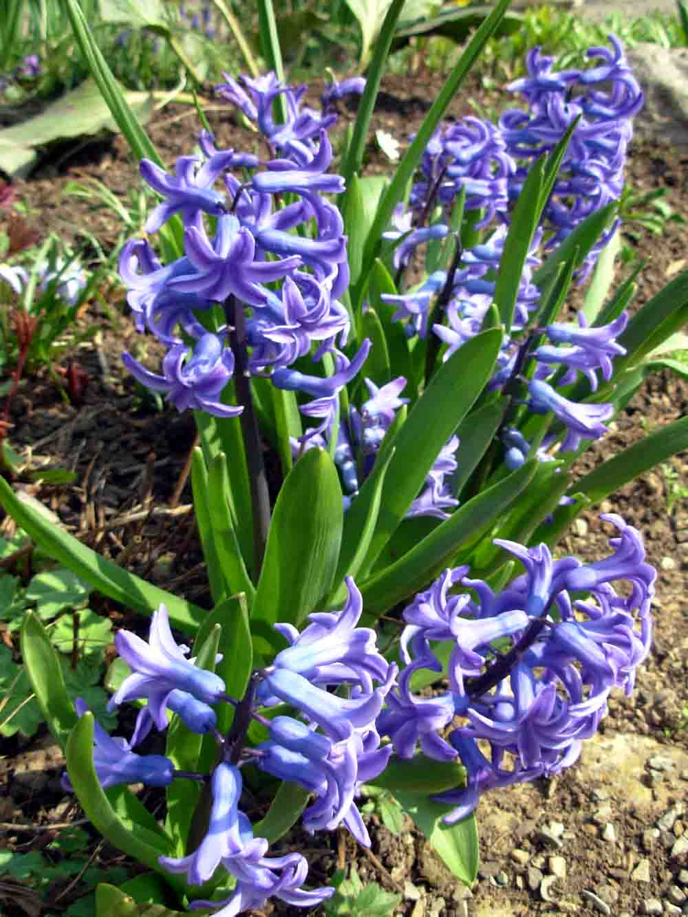 Hyacinth Flower A Lovely Spring Flower