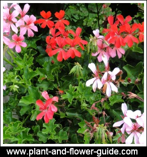 ivy geranium is called geranium pelatatum