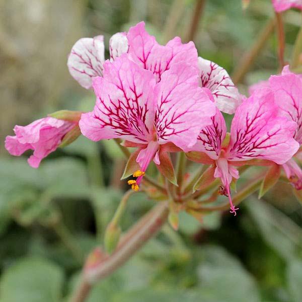pelargonium endlicherianum is also called Turkish pelargonium