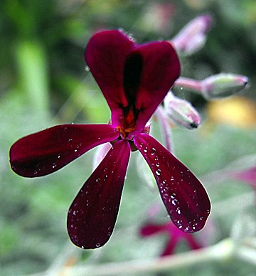 flower of pelargonium sidoides, umckaloabo