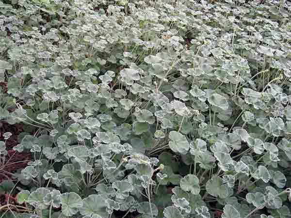 foliage of pelargonium sidoides, umckaloabo