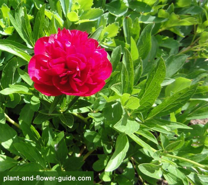 peony bush with a showy peony flower