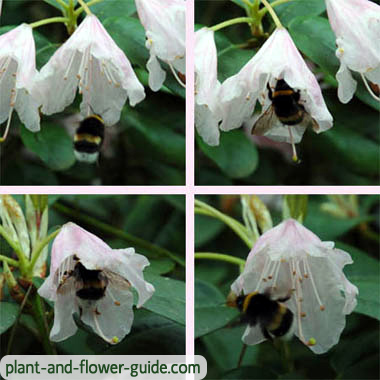 rhododendron flower with bumblebee