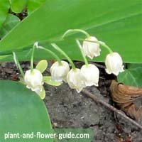 flowers of the month of may are lily of the valley flowers