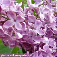 flowers of the month of may are common lilac flowers